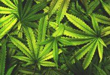 medical-cannabis-leaf