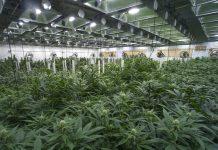 commercial-cannabis-grow