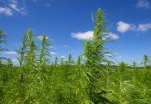industrial-hemp-field