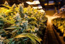 marijuana-legalization-vote-2016