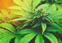 medical-marijuana-canada