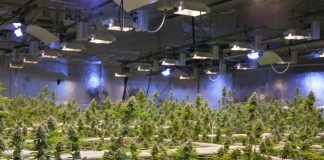 commercial-cannabis-operation