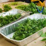 Marijuana Staffing Business Trimmers
