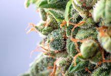 Up Close Cannabis Surna