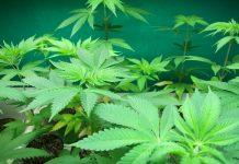Hydroponic Marijuana Subsidiaries