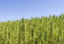 Industrial Hemp Fields Second Planted Colorado