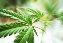 Nevada Recreational Marijuana License Status Update