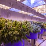 Greenhouse Cannabis Rent Collection First Month