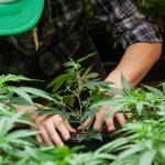 Cannabis Grower Organic Three Year Share Lock Up Agreement
