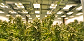 New California Client Cannabis Cultivation Consulting