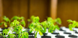 Cannabis Clones Sales and Revenue Expansion