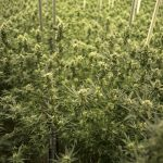 Cannabis Grow Facility Architecture Firm Retained