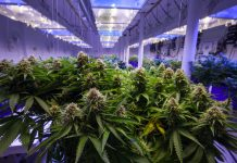 Medical Marijuana Cultivation Consulting third quarter earnings