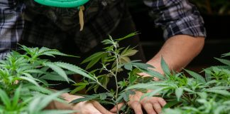regulated-medical-marijuana-cultivation