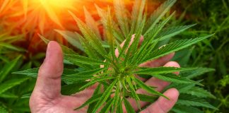 cannabis-canopy-growth