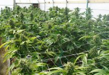 industrial-marijuana-testing-services