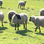 Sheep Livestock Processing Exporter Leniency Agreement