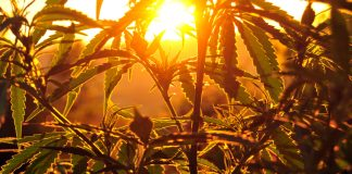 Cannabis Sunset Grow Business Revenue Growth
