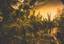 Real Estate Developer Cannabis Zoned Properties Grow