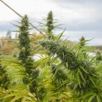 Cannabis URL Letter of Intent South American Gold