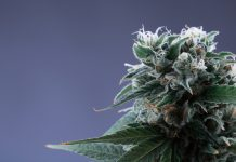 Cannabis Plant California Consulting Services