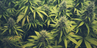 EmergingGrowth.com Cannabis Company - Agritek Holdings, Inc. (OTC Pink: AGTK) up 31%