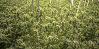 EmergingGrowth.com Cannabis Company - Nouveau Life Pharmaceuticals, Inc. (OTC Pink: NOUV) gains 133%